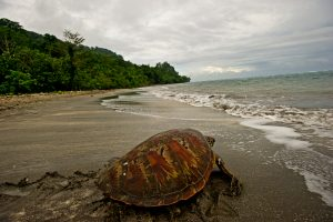 A tagged turtle on Tetepare Island, Solomon Islands.